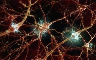 Нейроны головного мозга: что это такое, где находятся, функции