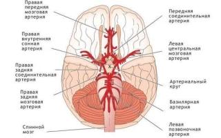 Особенности кровообращения головного мозга