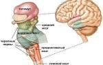 Стволовая часть головного мозга