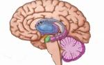 Анатомия и функции миндалевидного тела