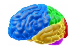 За что отвечает левое полушарие головного мозга