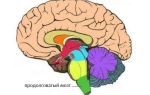 Анатомия и функции продолговатого мозга
