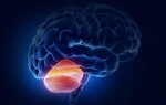 Строение и функции мозжечка головного мозга