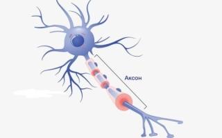Строение и функции аксона