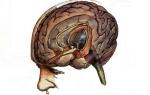 Лимбическая система мозга: строение и функции