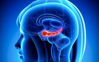Что такое гиппокамп в головном мозге