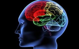 Структура головного мозга: строение и функции