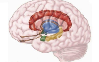 Строение и функции обонятельного мозга