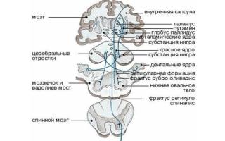 Строение и функции экстрапирамидной системы