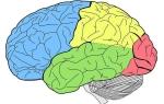 Строение и функции конечного мозга