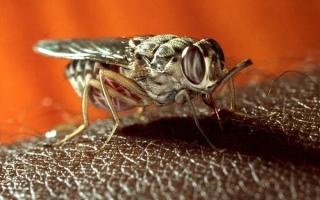 Африканский трипаносомоз: симптомы и лечение сонной болезни