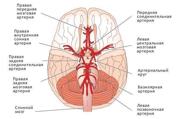 схема кровоснабжения головного мозга