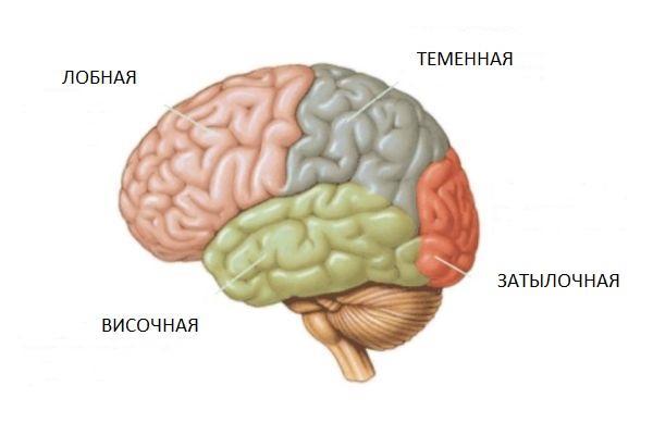 доли коры мозга