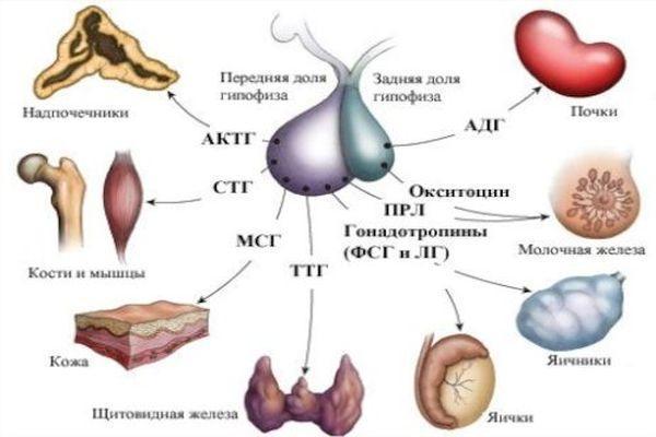 гормоны железы гипофиз