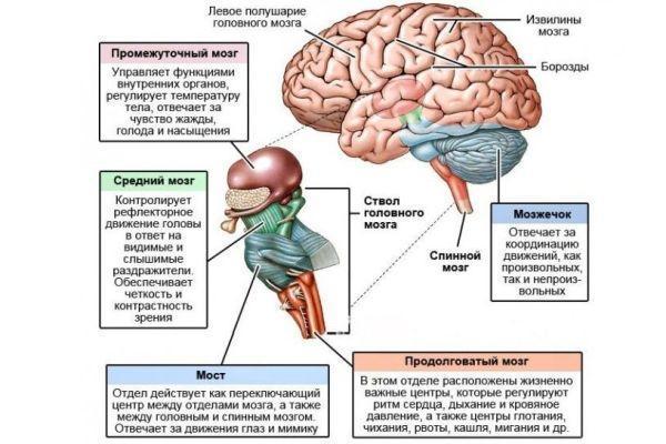 функции мозга