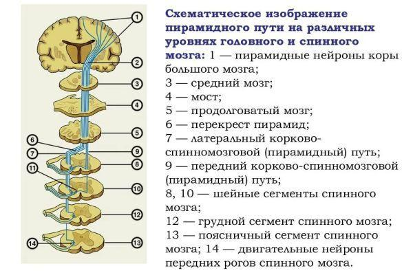 схема пирамидного пути
