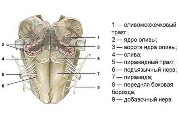 срез продолговатого мозга