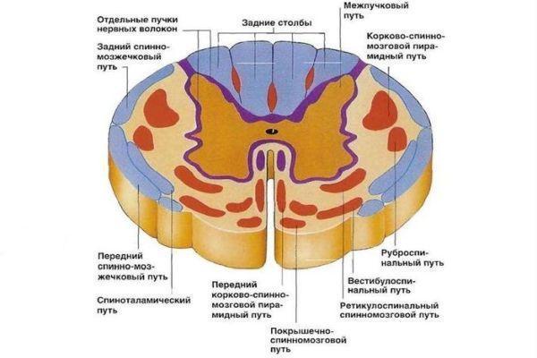 срез спинного мозга