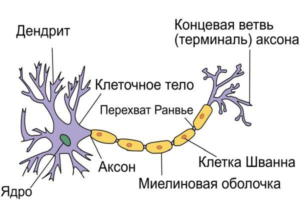 структура нейрона