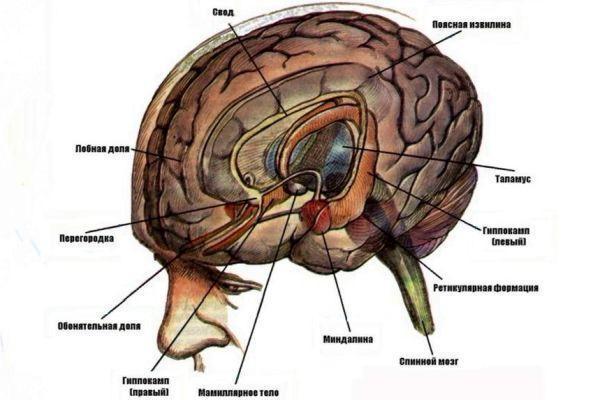 лимбическая система мозга