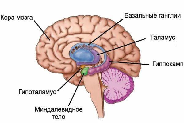 миндалина в мозге