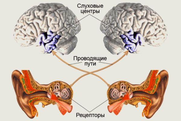слуховые центры