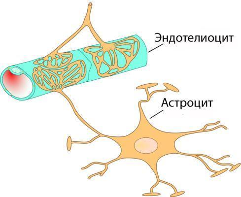 астроциты и эндотелиоциты