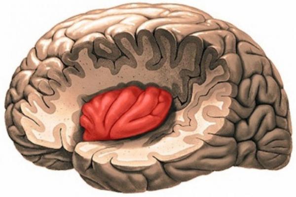 островковая доля мозга