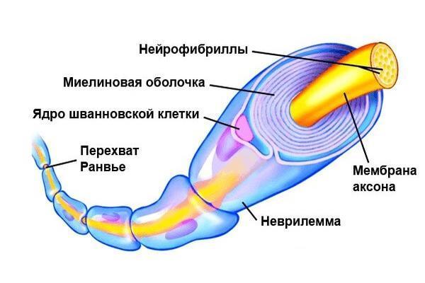 миелиновая оболочка нерва