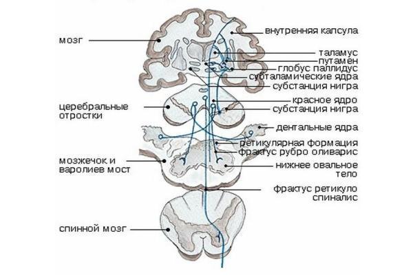 структура экстрапирамидной системы