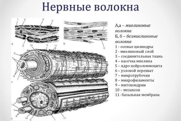 виды нервных волокон
