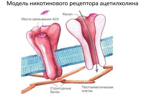 никотиновый рецептор