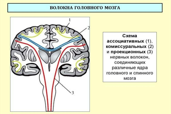 волокна мозга